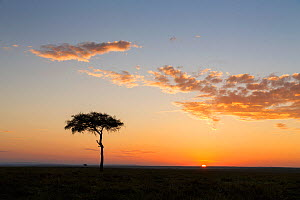 Sunrise in the Masai Mara National Reserve, with Whistling Thorn (Acacia drepanolobium) tree in picture, Kenya  -  Ingo Arndt