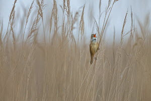 Great reed-warbler (Acrocephalus arundinaceus) singing in reed, sitting on reed stem, Lake Neusiedl, Austria , April. - Ingo Arndt