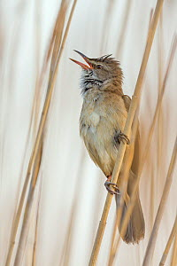 Great reed-warbler (Acrocephalus arundinaceus) singing in reed, Lake Neusiedl, Austria , April. - Ingo Arndt