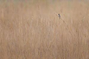 Reed bunting (Emberiza schoeniclus) male in reed bed, Lake Neusiedl, Austria , April.  -  Ingo Arndt