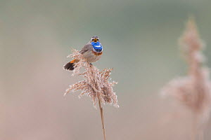 Bluethroat (Luscinia svecica) male singing and displaying, sitting on reed, Hessen, Germany March.  -  Ingo Arndt