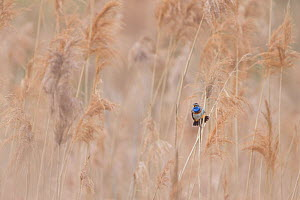 Bluethroat (Luscinia svecica) male singing and displaying, sitting in reed bed, Hessen, Germany April.  -  Ingo Arndt