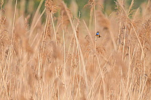 Bluethroat (Luscinia svecica) male sitting in reed bed, Hessen, Germany April.  -  Ingo Arndt