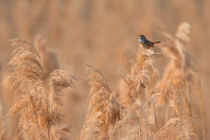 Bluethroat (Luscinia svecica) male singing and displaying, sitting on reed, Hessen, Germany April.  -  Ingo Arndt