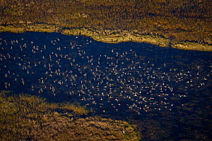 Aerial view of Blue-winged teal (Anas discors) flock flying with Great Blue Heron (Ardea herodias) on the ground, Everglades National Park, Florida, USA, January.  -  Ingo Arndt