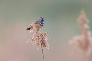 Bluethroat (Luscinia svecica) male singing and displaying, sitting on reed, Hessen, Germany, March.  -  Ingo Arndt