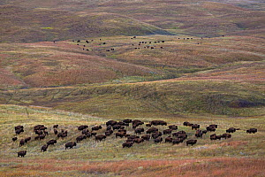 American bison (Bison bison) herd of adults and calves on prairie, South Dakota, USA September 2014. - Ingo Arndt