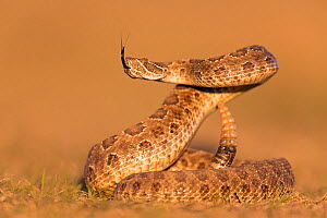 Prairie rattlesnake (Crotalus viridis viridis), threat display, South Dakota, USA September. Sequence 1 of 3  -  Ingo Arndt