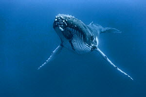 Humpback whale (Megaptera novaeangliae) male resting,  Vava'u, Kingdom of Tonga. Pacific Ocean. - Tony Wu