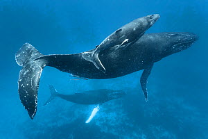 Humpback whale (Megaptera novaeangliae) mother and calf accompanied by male with a white pectoral fin. Photographed in Vava�u, Kingdom of Tonga.  -  Tony Wu