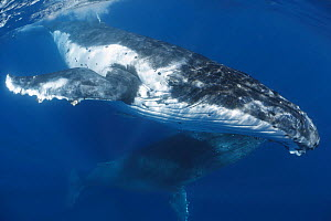 Humpback whale (Megaptera novaeangliae) engaged in courtship, whale in the foreground is the female. The darker one below is the male, Vava'u, Kingdom of Tonga. Pacific Ocean. - Tony Wu