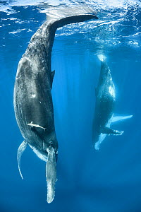 Humpback whale (Megaptera novaeangliae) female calf mimicking her mother, visible in the background. The adult female had the habit of resting with her fluke at the surface. Vava'u, Kingdom of Tonga....  -  Tony Wu