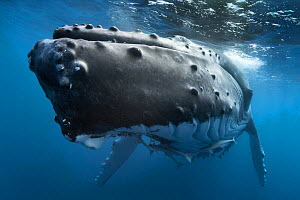 Humpback whale (Megaptera novaeangliae) female close up, Vava'u, Kingdom of Tonga. Pacific Ocean. - Tony Wu