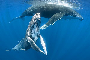 Humpback whale female calf (Megaptera novaeangliae) posing with her pectoral fins held together, with her mother resting in the background. Vava'u, Kingdom of Tonga. Pacific Ocean.  -  Tony Wu