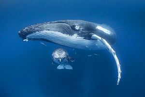 Humpback whale calf (Megaptera novaeangliae) resting under the chin of its mother. Vava'u, Tonga, Pacific Ocean.  -  Tony Wu
