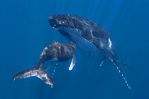 Humpback whale (Megaptera novaeangliae) calf nuzzling its mother, Vava'u, Kingdom of Tonga, Pacific Ocean. - Tony Wu