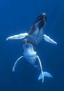 Humpback whales (Megaptera novaeangliae) engaged in courtship, with the male hovering above the female. Vava'u, Tonga, Pacific Ocean. - Tony Wu
