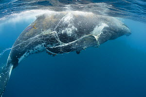 Humpback whale (Megaptera novaeangliae) entangled in longline fishing gear immobilizing both pectoral fins, and infested with Whale lice (Cyamus boopis)  Vava'u, Tonga, Pacific Ocean.  -  Tony Wu
