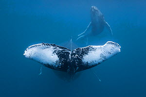 Humpback whale (Megaptera novaeangliae) female with scarred fluke (possibly caused by orcas) and calf in the background. Vava'u, Kingdom of Tonga  -  Tony Wu