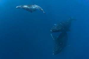 Humpback whale (Megaptera novaeangliae) calf swimming toward the surface to  breathe, with mother swimming below. The calf has a wound on its abdomentcaused by a rope or line of some sort. Vava'u, Ton...  -  Tony Wu