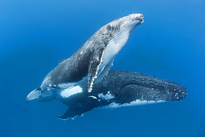 Humpback whale  (Megaptera novaeangliae) male calf with his mother. Vava'u, Tonga. South Pacific. - Tony Wu