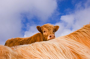 Highland cattle calf looking over the back of its mother, Tiree, Scotland, May. - Niall Benvie
