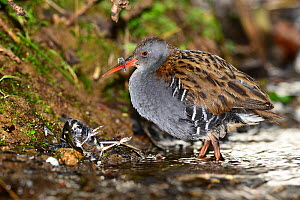 Water rail (Rallus aquaticus) with dead Chaffinch (Fringilla coelebs) the rail had just killed and partly eaten, Dorset, UK March  -  Colin Varndell