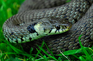 Grass snake (Natrix natrix) Dorset, UK May  -  Colin Varndell