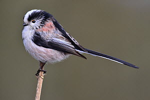 Long-tailed tit (Aegithalos caudatus) profile portrait, Dorset, UK February  -  Colin Varndell
