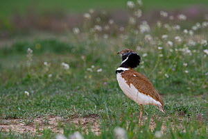 Little bustard (Tetrax tetrax) displaying at lek on Spanish steppes, Montgai, Catalonia, Spain April  -  David Tipling