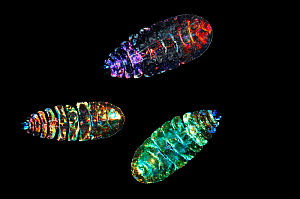Marine planktonic Copepod (Sapphirina sp.) brightly coloured copepods. Deep sea species from Atlantic Ocean off Cape Verde. Captive.  -  Solvin Zankl