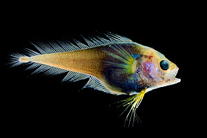Deep sea fish (Moridae sp.) from Atlantic Ocean off Cape Verde. Captive.  -  Solvin Zankl