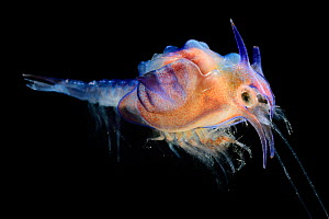 Prawn larvae (Plesiopenaeus armatus) Deep sea species from Atlantic Ocean off Cape Verde. Captive.  -  Solvin Zankl