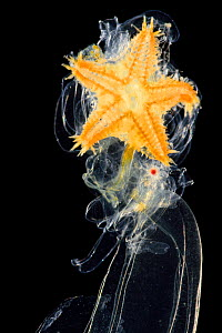 Brachiolaria larva, late larval stage of starfish with sea star rudiment. Deep sea species from Atlantic Ocean off Cape Verde. Captive.  -  Solvin Zankl