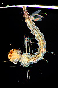 Yellow fever mosquito (Aedes aegypti) larva, is the vector for transmitting Zika virus, yellow fever virus and dengue fever.  Bernhard Nocht Institute for Tropical Medicine, (BNI). Hamburg, Germany, A...  -  Solvin Zankl
