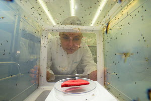 Scientist looking at breeding cage for Yellow fever mosquito (Aedes aegypti). Bernhard Nocht Institute for Tropical Medicine (BNI). Hamburg, Germany. April 2016. - Solvin Zankl