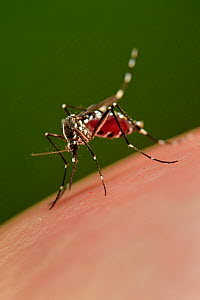 Asian tiger mosquito (Aedes albopictus) sucking blood. This species is a vector for the yellow fever virus, West Nile virus (WNV) , dengue fever and Chikungunya fever. Freiburg, Germany  -  Solvin Zankl