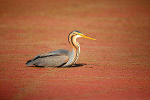 Purple heron (Ardea purpurea) sitting on ground, Marievale Bird Sanctuary, Gauteng Province, South Africa, August.  -  Richard Du Toit