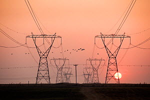Spur winged geese (Plectropterus gambensis) flock flying past electricity  pylons, silhouetted at dawn, Marievale Bird Sanctuary, Gauteng Province, South Africa, August. - Richard Du Toit