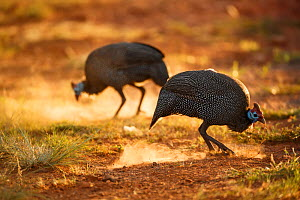 Two Helmeted guineafowl (Numida meleagris) feeding, Rietvlei Nature Reserve, Gauteng Province, South Africa, December. - Richard Du Toit