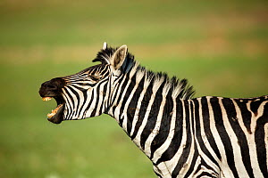 Zebra (Equus quagga) male braying, with scars from fights, Rietvlei Nature Reserve, Gauteng Province, South Africa, October.  -  Richard Du Toit