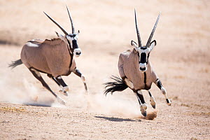 Two Gemsbok (Oryx gazella) chasing during fight, Kgalagadi Transfrontier Park, Northern Cape Province, South Africa, December. - Richard Du Toit