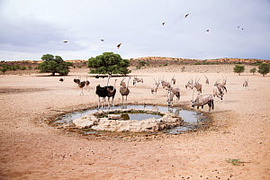 Gemsbok (Oryx gazella) and Ostriches (Struthio camelus) at a small waterhole, Kgalagadi Transfrontier Park, Northern Cape Province, South Africa, December. - Richard Du Toit