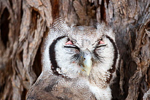 Giant eagle owl (Bubo lacteus) sleeping, Kgalagadi Transfrontier Park, Northern Cape Province, South Africa, December. (This image may be licensed either as rights managed or royalty free.)  -  Richard Du Toit