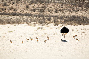 Ostrich (Struthio camelus) with eleven chicks, Kgalagadi Transfrontier Park, Northern Cape Province, South Africa, December.  -  Richard Du Toit