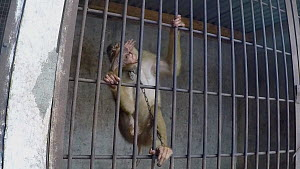 Captive male Pig-tailed macaque (Macaca nemestrina) in bare cell, leaps at cage bars and grabs at camera, filmed with a concealed camera, Medan, Sumatra. - Jabruson Motion