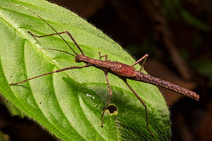 Stick insect (Phasmatodea) on rainforest vegetation at night, Osa Peninsula, Costa Rica.  -  Alex  Hyde