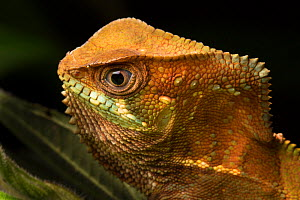 RF - Head portrait of Helmeted Basilisk (Corytophanes cristatus) Osa Peninsula, Costa Rica. (This image may be licensed either as rights managed or royalty free.)  -  Alex  Hyde