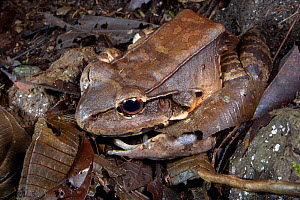 Smoky jungle frog (Leptodactylus savageii / pentadactylus) this huge frog can reach up to 185mm and will eat mammals, Osa Peninsula, Costa Rica  -  Alex  Hyde