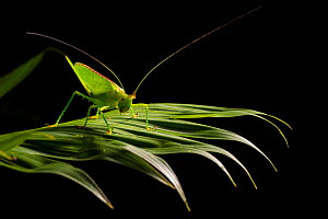 Conehead katydid (Copiphora sp) on rainforest vegetation at night, Osa Peninsula, Costa Rica. - Alex  Hyde